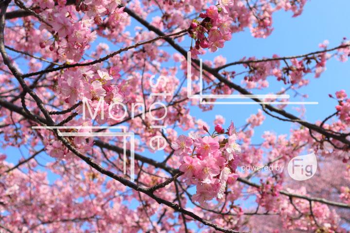 桜の写真 Cherry blossoms Photography 4537