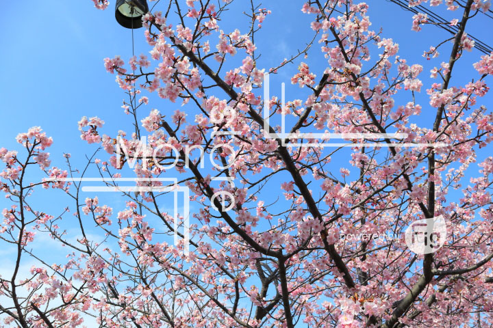 桜の写真 Cherry blossoms Photography 4541