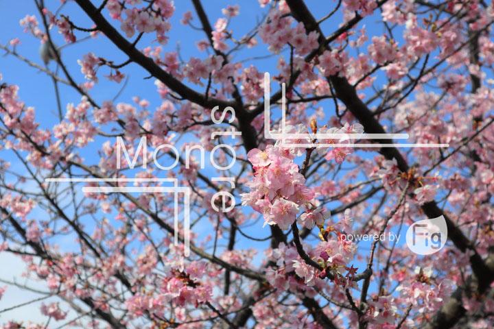 桜の写真 Cherry blossoms Photography 4543