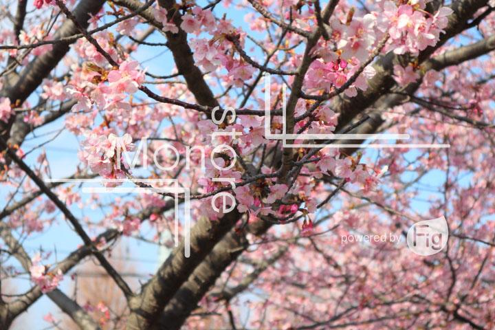 桜の写真 Cherry blossoms Photography 4549