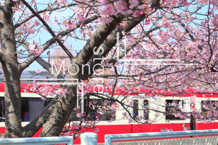 桜の写真 Cherry blossoms Photography 4550