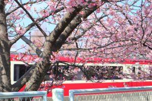 桜の写真 Cherry blossoms Photography 4551