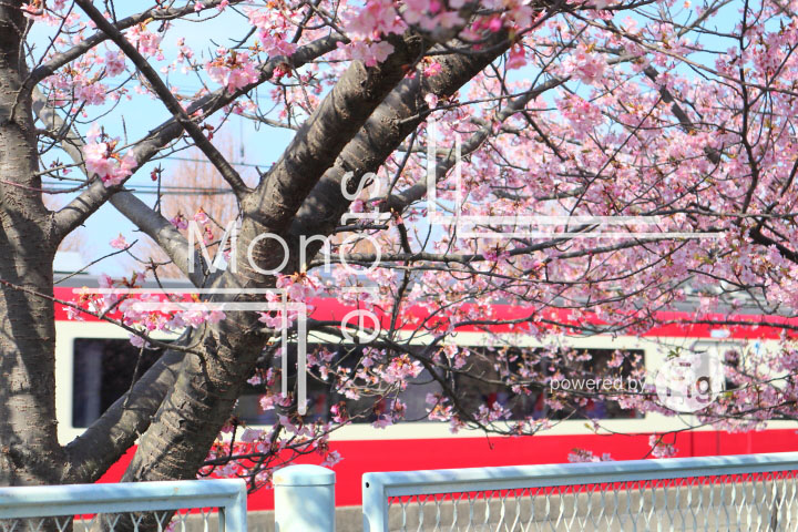 桜の写真 Cherry blossoms Photography 4551