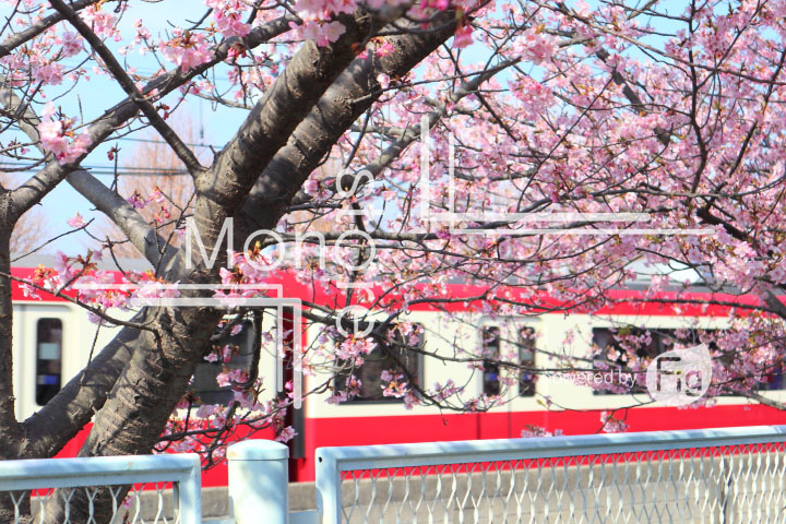 桜の写真 Cherry blossoms Photography 4553