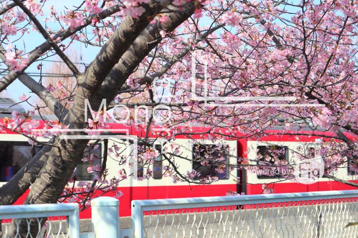 桜の写真 Cherry blossoms Photography 4554