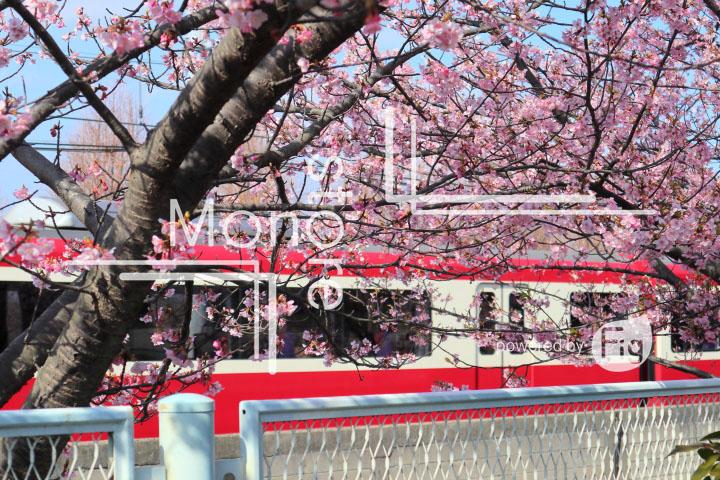 桜の写真 Cherry blossoms Photography 4555