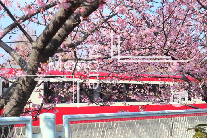 桜の写真 Cherry blossoms Photography 4556