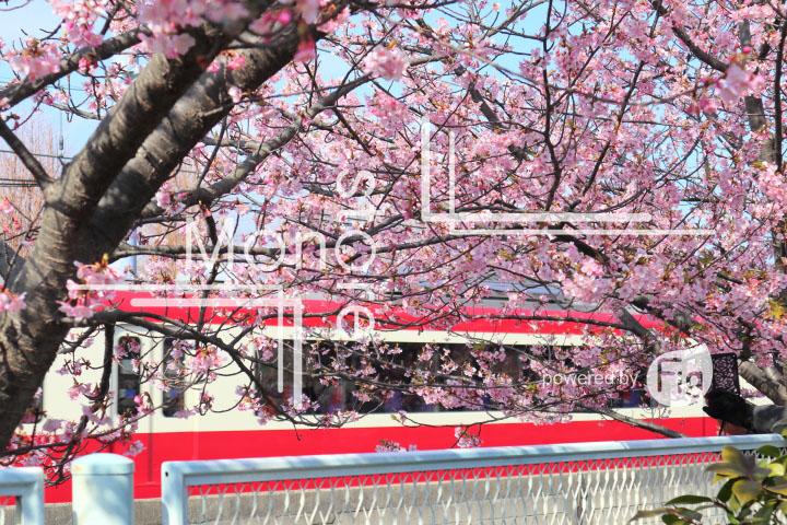 桜の写真 Cherry blossoms Photography 4561