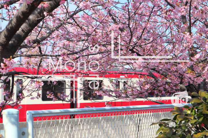 桜の写真 Cherry blossoms Photography 4564