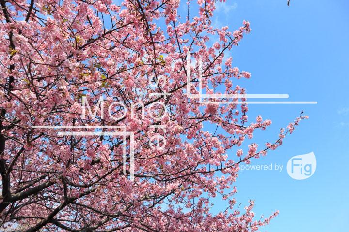 桜の写真 Cherry blossoms Photography 4585
