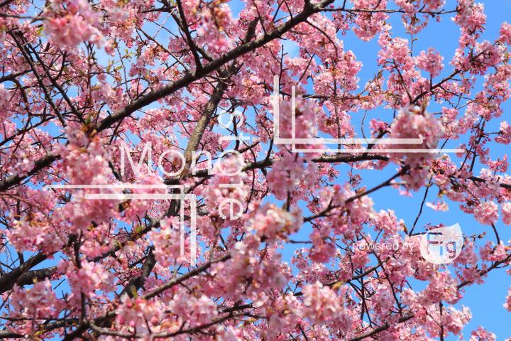 桜の写真 Cherry blossoms Photography 4587