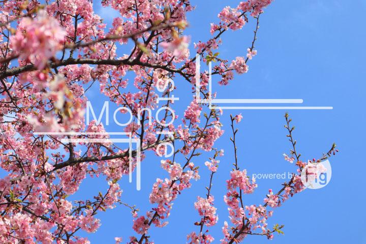 桜の写真 Cherry blossoms Photography 4588