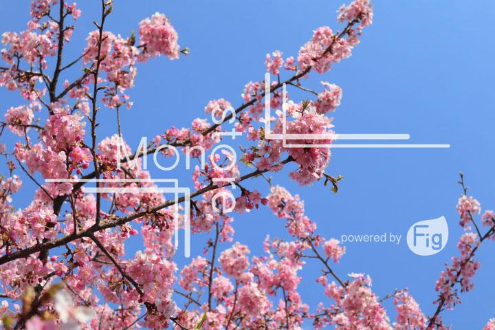 桜の写真 Cherry blossoms Photography 4589