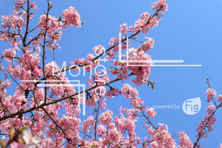 桜の写真 Cherry blossoms Photography 4591