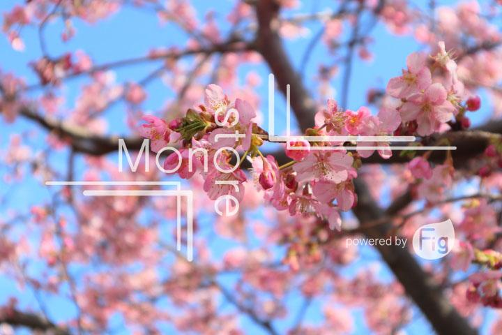 桜の写真 Cherry blossoms Photography 4601