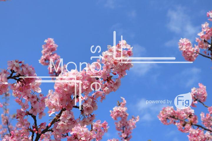 桜の写真 Cherry blossoms Photography 4625