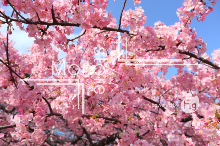 桜の写真 Cherry blossoms Photography 4633