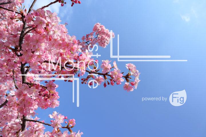 桜の写真 Cherry blossoms Photography 4638
