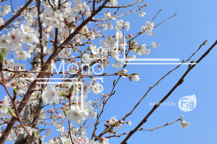 桜の写真 Cherry blossoms Photography 4960