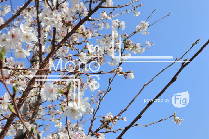 桜の写真 Cherry blossoms Photography 4961