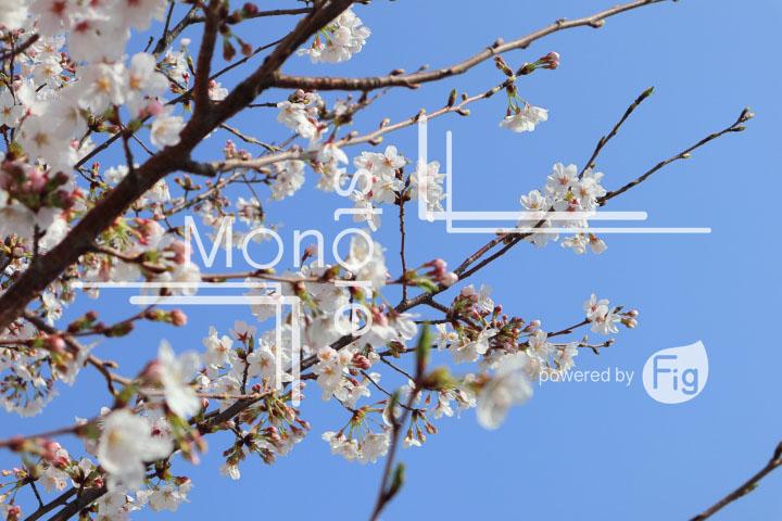 桜の写真 Cherry blossoms Photography 4963
