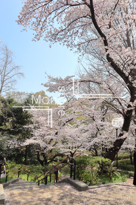 桜の写真 Cherry blossoms Photography 4968