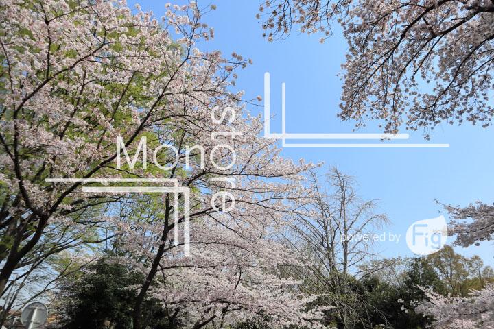 桜の写真 Cherry blossoms Photography 4970