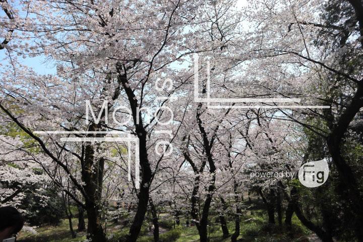 桜の写真 Cherry blossoms Photography 4972