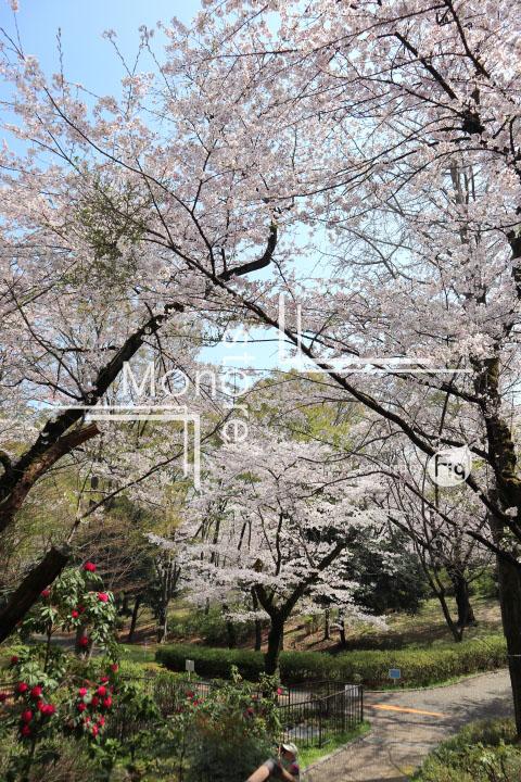 桜の写真 Cherry blossoms Photography 4973
