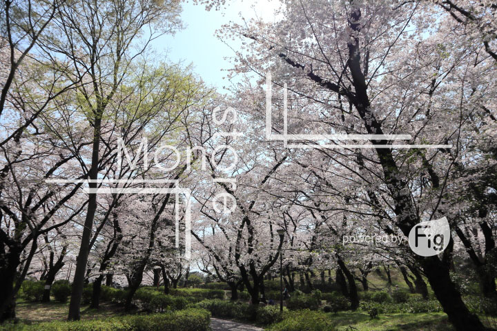 桜の写真 Cherry blossoms Photography 4974
