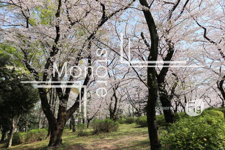 桜の写真 Cherry blossoms Photography 4976