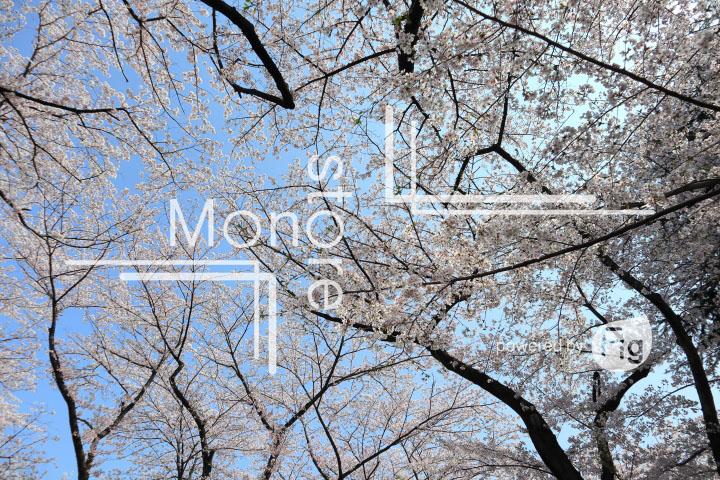 桜の写真 Cherry blossoms Photography 4978
