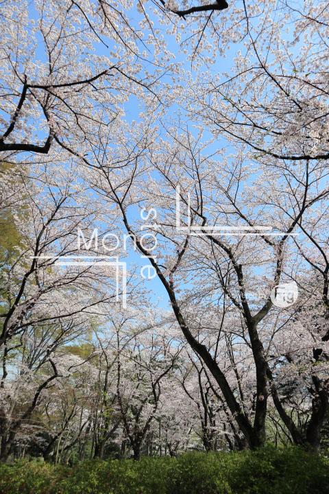 桜の写真 Cherry blossoms Photography 4980