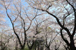 桜の写真 Cherry blossoms Photography 4981