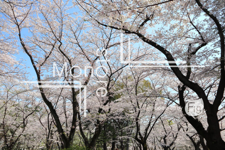 桜の写真 Cherry blossoms Photography 4981