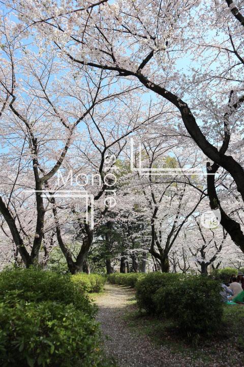 桜の写真 Cherry blossoms Photography 4982