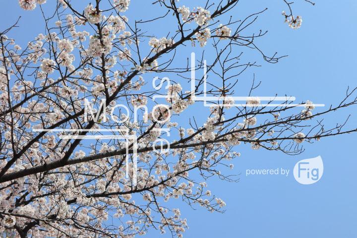 桜の写真 Cherry blossoms Photography 4988
