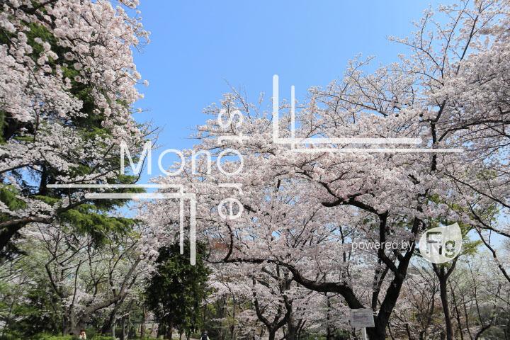 桜の写真 Cherry blossoms Photography 4989