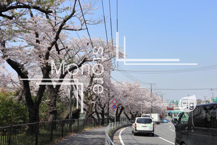 桜の写真 Cherry blossoms Photography 4995