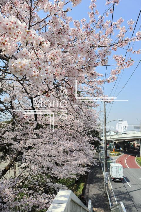 桜の写真 Cherry blossoms Photography 5004