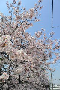 桜の写真 Cherry blossoms Photography 5005