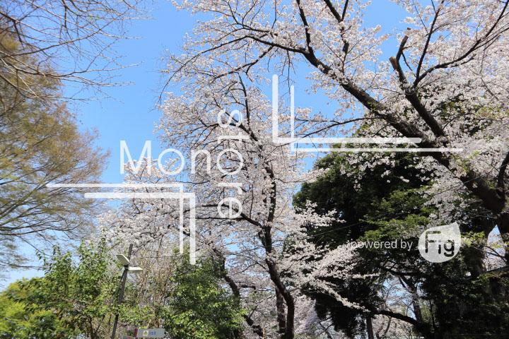 桜の写真 Cherry blossoms Photography 5014