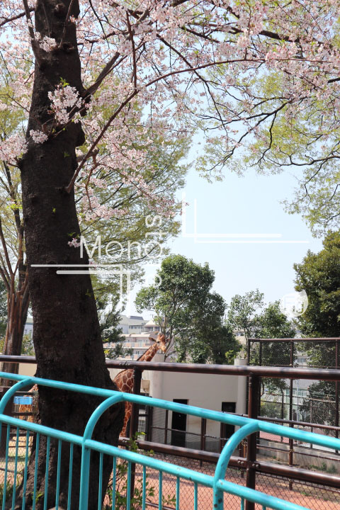 桜の写真 Cherry blossoms Photography 5017