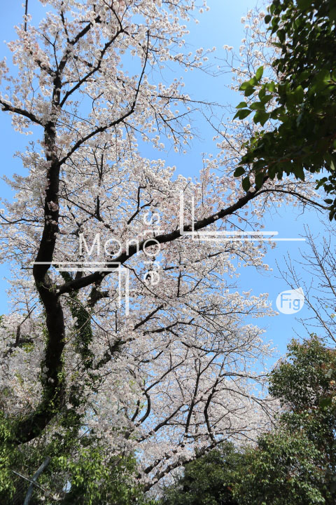 桜の写真 Cherry blossoms Photography 5033