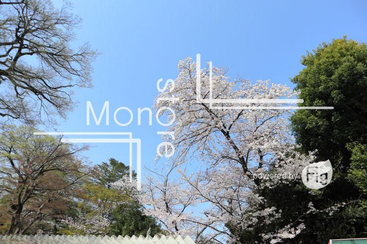 桜の写真 Cherry blossoms Photography 5038