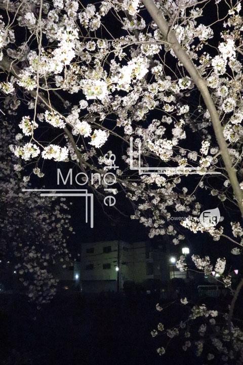 桜の写真 Cherry blossoms Photography 5192