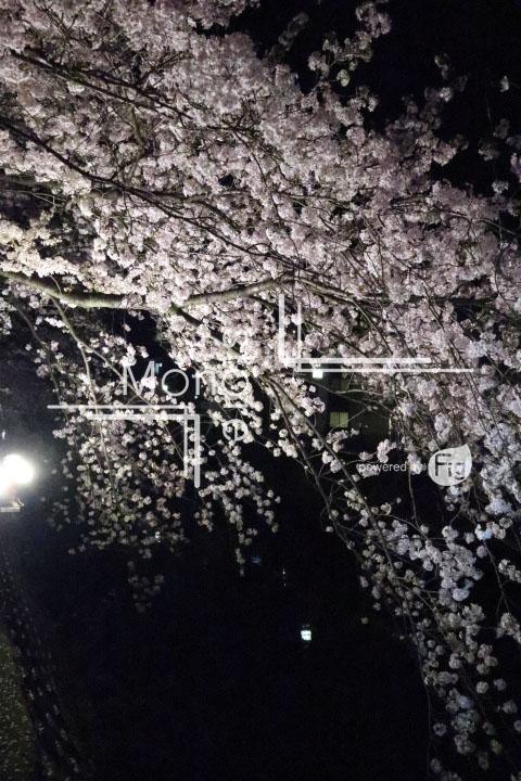 桜の写真 Cherry blossoms Photography 5201