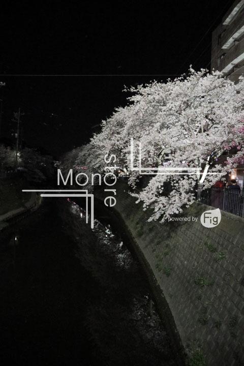 桜の写真 Cherry blossoms Photography 5223