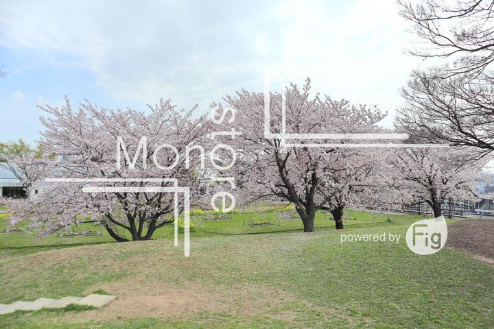 桜の写真 Cherry blossoms Photography 5234