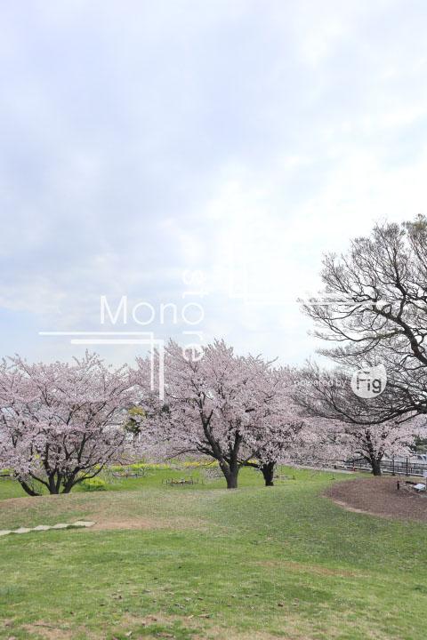 桜の写真 Cherry blossoms Photography 5236